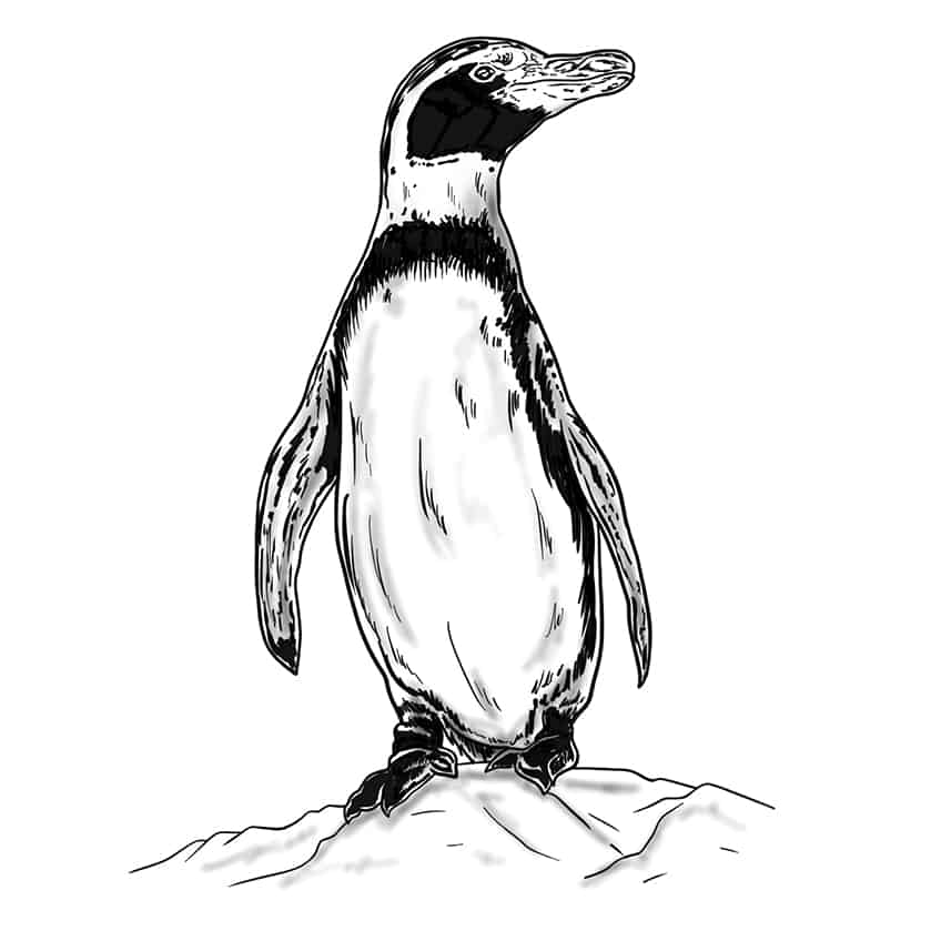 Penguin Drawing Step 10