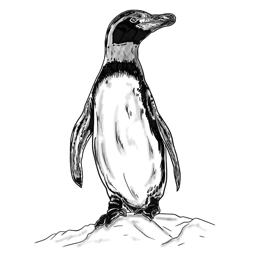 Penguin Drawing Step 11