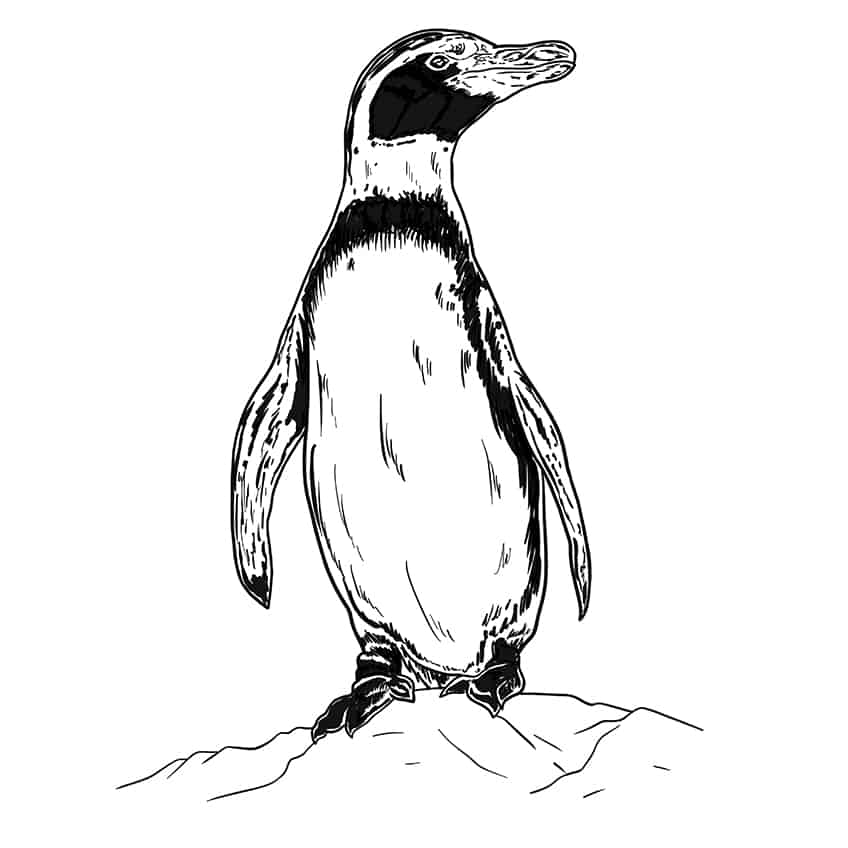 Penguin Drawing Step 9