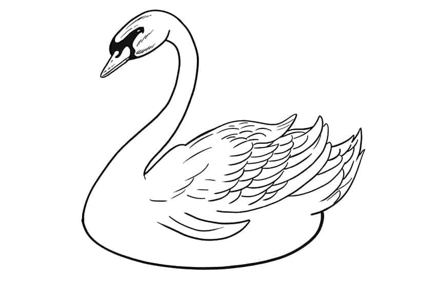 Swan Drawing Step 10