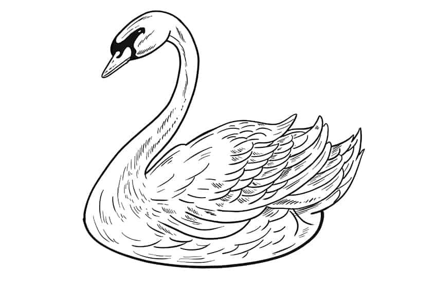 Swan Drawing Step 11