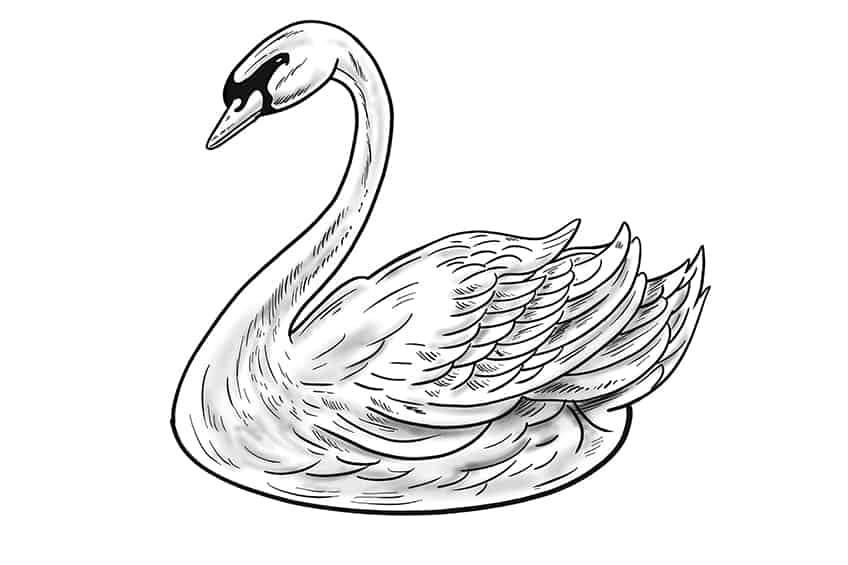 Swan Drawing Step 12