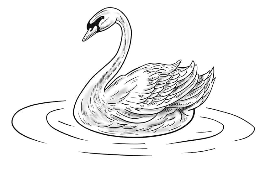Swan Drawing Step 13