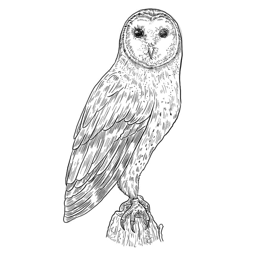 owl drawing step11