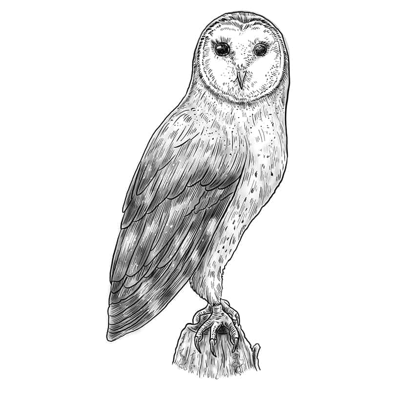 owl drawing step12