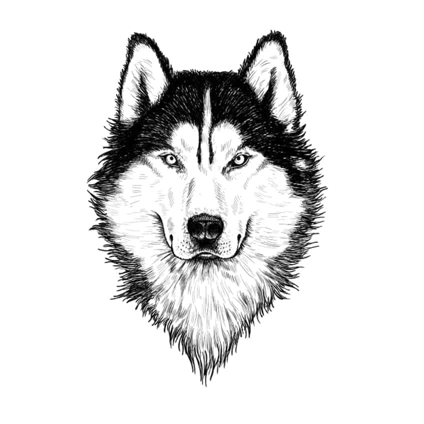 wolf drawing step 11