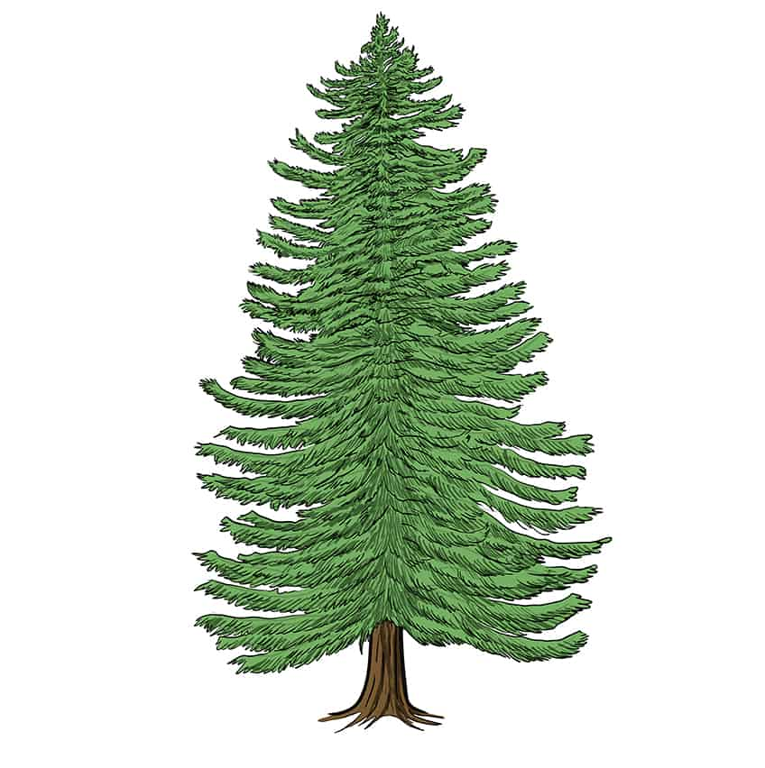 conifer drawing 12