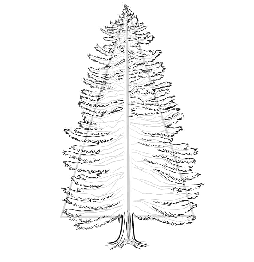 conifer drawing 7