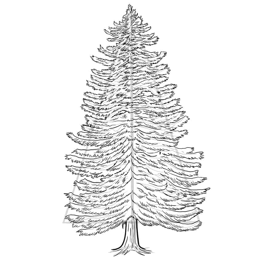 conifer drawing 8