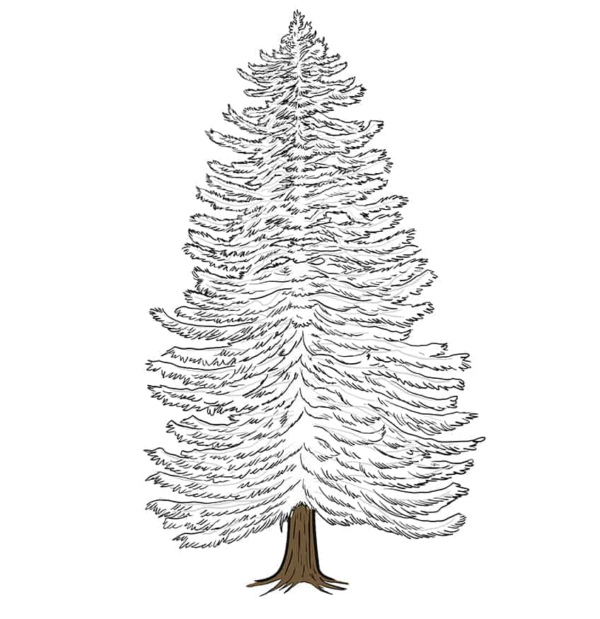 conifer drawing 9