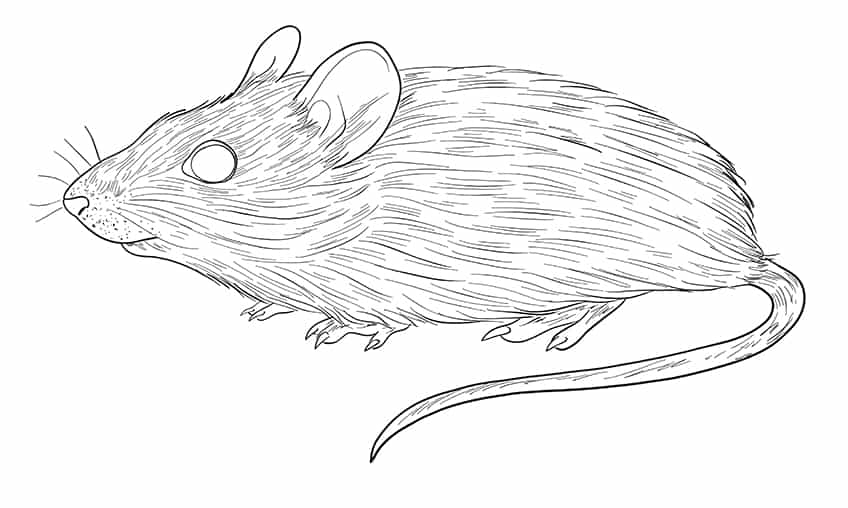mouse drawing step10