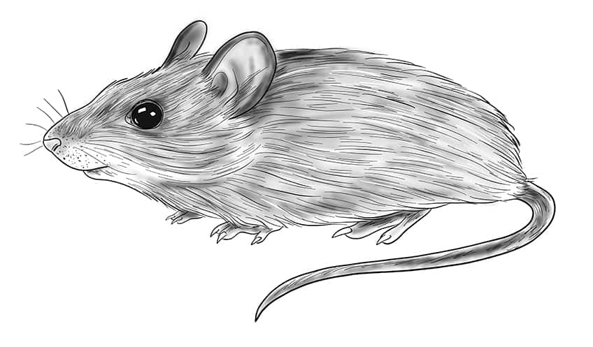 mouse drawing step11