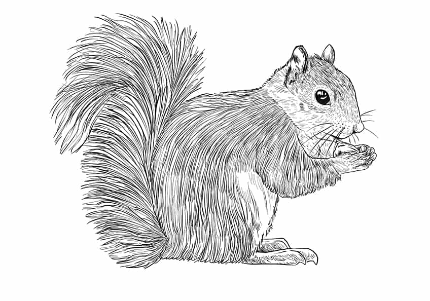 squirrel drawing step10