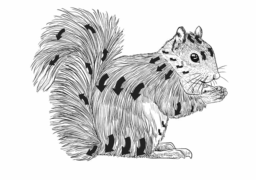 squirrel drawing step10a