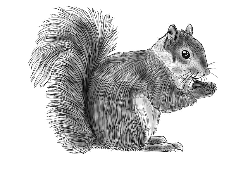 squirrel drawing step11