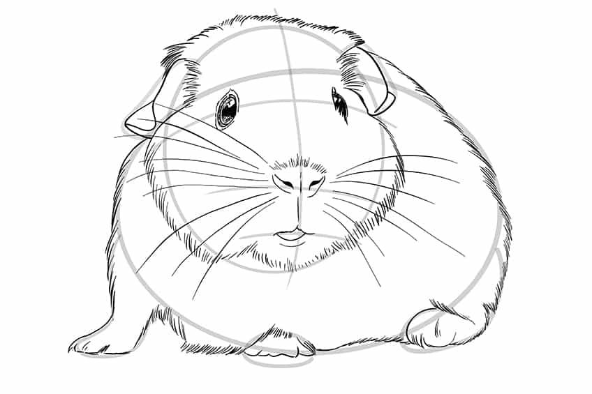 Guinea Pig Sketch Step 08