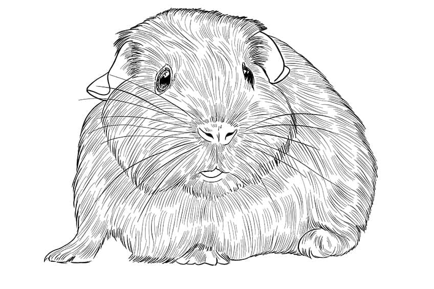 Guinea Pig Sketch Step 09