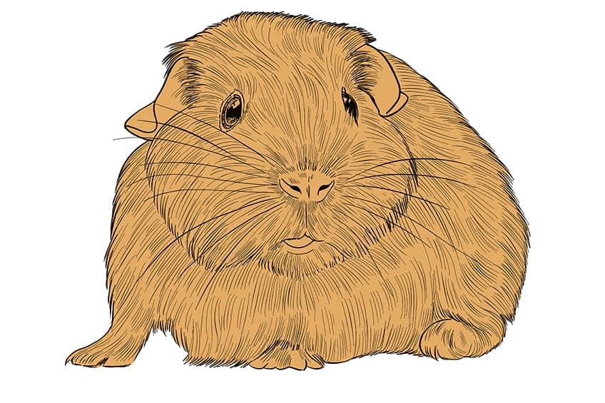 Guinea Pig Sketch Step 10