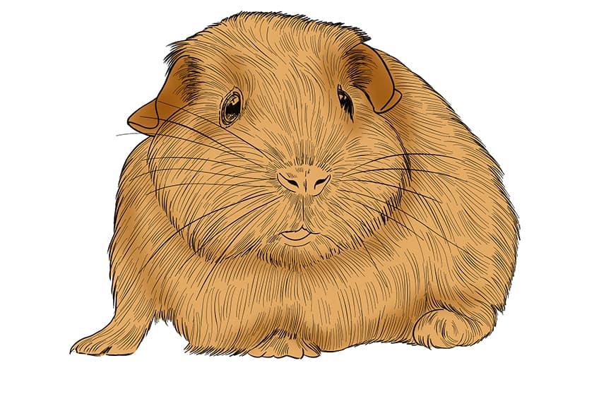 Guinea Pig Sketch Step 11
