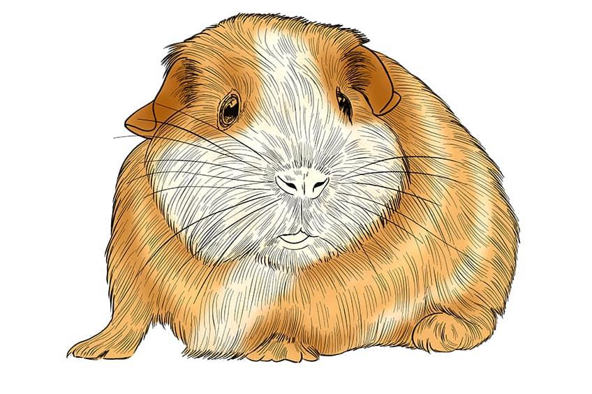 Guinea Pig Sketch Step 12