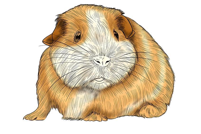 Guinea Pig Sketch Step 13