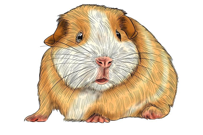 Guinea Pig Sketch Step 14