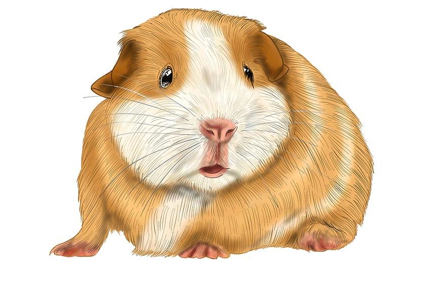 Guinea Pig Sketch Step 15