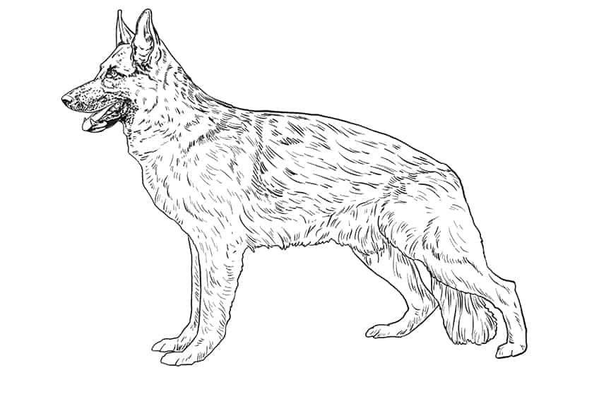 Step 08 of German Shepherd Drawing