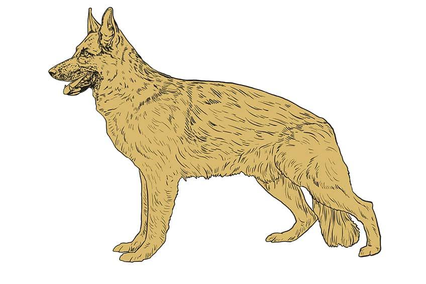 Step 09 of German Shepherd Drawing