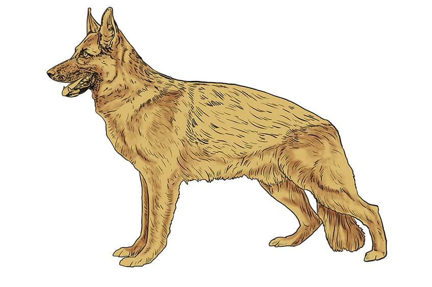 Step 10 of German Shepherd Drawing