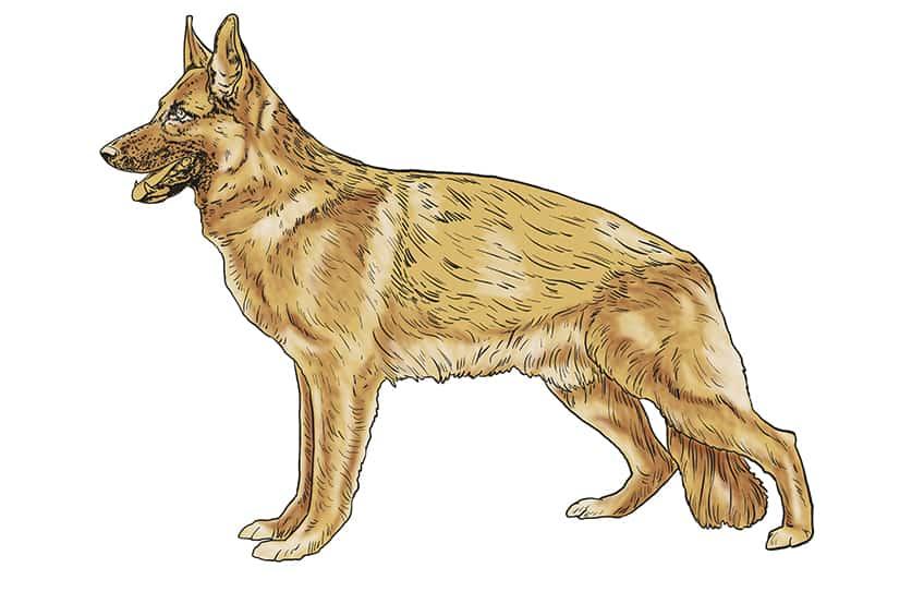Step 11 of German Shepherd Drawing