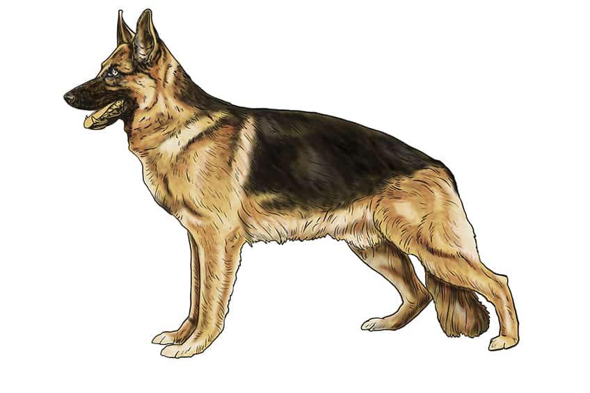Step 12 of German Shepherd Drawing