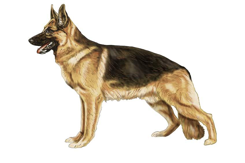 Step 14 of German Shepherd Drawing
