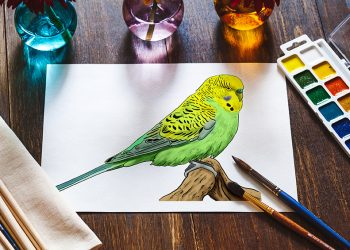How to Draw a Budgie